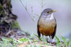 Καστανοκοκκινωπός-διογκωμένη τσίχλα, σύμβολο πουλιών της Βραζιλίας Στοκ Εικόνα