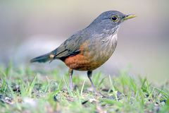 Καστανοκοκκινωπός-διογκωμένη τσίχλα, σύμβολο πουλιών της Βραζιλίας Στοκ φωτογραφία με δικαίωμα ελεύθερης χρήσης