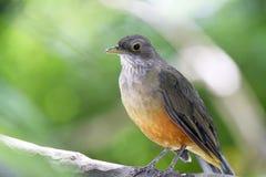 Καστανοκοκκινωπός-διογκωμένο σύμβολο πουλιών τσιχλών της Βραζιλίας Στοκ εικόνες με δικαίωμα ελεύθερης χρήσης