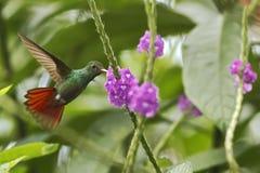 Καστανοκοκκινωπός-παρακολουθημένο κολίβριο που αιωρείται δίπλα στο ιώδες λουλούδι στον κήπο, πουλί από το τροπικό δάσος βουνών, Κ στοκ φωτογραφίες