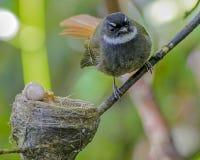 Καστανοκοκκινωπός-παρακολουθημένο Fantail στοκ εικόνες