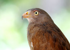 Καστανοκοκκινωπός-φτερωτή καρακάξα Butastur liventer Στοκ Φωτογραφία
