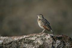 Καστανοκοκκινωπός-lark, africana Mirafra Στοκ φωτογραφίες με δικαίωμα ελεύθερης χρήσης