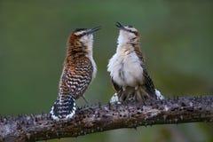Καστανοκοκκινωπός-Wren στη Κόστα Ρίκα Στοκ εικόνες με δικαίωμα ελεύθερης χρήσης
