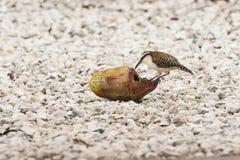 Καστανοκοκκινωπός-Wren τρώει την καρύδα Στοκ Εικόνα