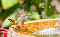 Καστανοκοκκινωπό κολίβριο που χορεύει στο λουτρό πουλιών Στοκ Φωτογραφία