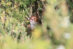 Καστανοκοκκινωπό Bristlebird στοκ φωτογραφίες με δικαίωμα ελεύθερης χρήσης