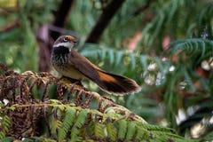 Καστανοκοκκινωπό Fantail - Rhipidura rufifrons, μικρό πουλί Passerine, ο συνηθέστερα γνωστό επίσης ως μαύρος-το καστανοκοκκινωπός στοκ φωτογραφίες με δικαίωμα ελεύθερης χρήσης