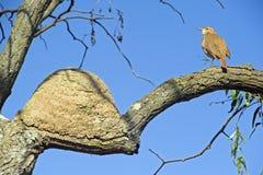 Καστανοκοκκινωπό hornero ή καστανοκοκκινωπό ovenbird, ένα διάσημο βραζιλιάνο πουλί Στοκ Εικόνες