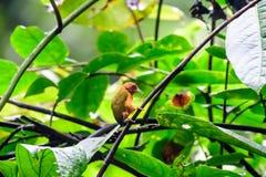 Καστανοκοκκινωπό Piculet στον κλάδο ενός δέντρου Στοκ Εικόνα
