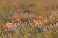 Καστανόξανθη κινηματογράφηση σε πρώτο πλάνο pipit (campestris Anthus) Στοκ Φωτογραφία