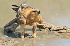 Καστανόξανθος αετός - άγριο υπόβαθρο πουλιών από την Αφρική - εικονική ομορφιά από το ζωικό βασίλειο Στοκ Φωτογραφίες