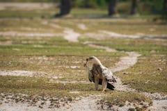 Καστανόξανθος αετός ή πορτρέτο Aquila rapax με μια ακανθωτός-παρακολουθημένη θανάτωση σαυρών στο ράμφος στοκ εικόνα