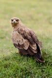 Καστανόξανθος αετός που εξετάζει τη κάμερα Στοκ Φωτογραφία