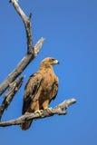 Καστανόξανθος αετός που σκαρφαλώνει σε έναν κλάδο δέντρων στοκ εικόνες