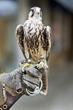 Καστανόξανθος αετός της Αφρικής Στοκ φωτογραφία με δικαίωμα ελεύθερης χρήσης