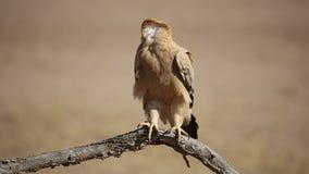 Καστανόξανθος αετός φιλμ μικρού μήκους