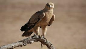 Καστανόξανθος αετός απόθεμα βίντεο