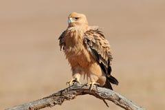 Καστανόξανθος αετός Στοκ εικόνα με δικαίωμα ελεύθερης χρήσης