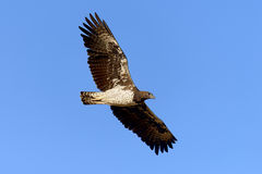 Καστανόξανθος αετός Στοκ εικόνες με δικαίωμα ελεύθερης χρήσης