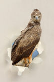 Καστανόξανθος αετός (Aquila rapax) που κοιτάζει μέσω μιας τρύπας που σχίζεται το έγγραφο Στοκ φωτογραφία με δικαίωμα ελεύθερης χρήσης