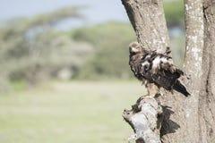 Καστανόξανθος αετός Aquila rapax που κυνηγά από ένα δέντρο Στοκ Φωτογραφία