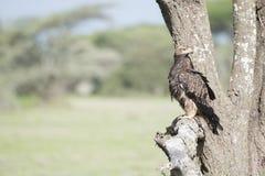 Καστανόξανθος αετός Aquila rapax που κυνηγά από ένα δέντρο Στοκ Εικόνες