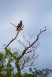 Καστανόξανθος αετός Aquila rapax που σκαρφαλώνει σε ένα δέντρο, Νότια Αφρική Στοκ Φωτογραφίες