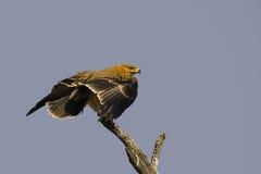 Καστανόξανθος αετός (Aquila rapax) Στοκ Φωτογραφίες