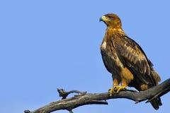 Καστανόξανθος αετός (Aquila rapax) Στοκ εικόνα με δικαίωμα ελεύθερης χρήσης