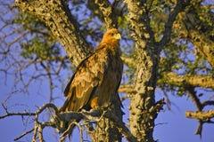 Καστανόξανθος αετός (Aquila rapax) Στοκ Εικόνα