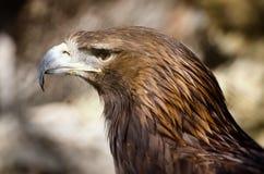 Καστανόξανθος αετός (Aquila rapax) Στοκ Φωτογραφία