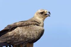 Καστανόξανθος αετός Aquila rapax Στοκ φωτογραφίες με δικαίωμα ελεύθερης χρήσης