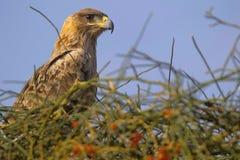 Καστανόξανθος αετός, Aquila rapax Jaisalmer, Rajasthan Στοκ Φωτογραφία