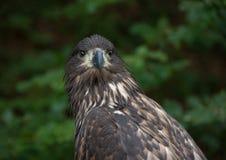 Καστανόξανθο πορτρέτο αετών Στοκ Εικόνες