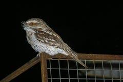 Καστανόξανθο Frogmouth Στοκ φωτογραφία με δικαίωμα ελεύθερης χρήσης