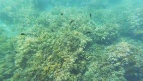 Κατάδυση στο κατώτατο σημείο του ωκεανού με τα τροπικά ψάρια και το φύκι απόθεμα βίντεο