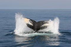 κατάδυση humpback Στοκ Φωτογραφίες
