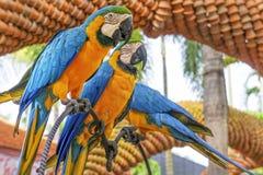 Κατάπληξη μπλε και κίτρινο Macaw (παπαγάλοι Arara) Στοκ εικόνα με δικαίωμα ελεύθερης χρήσης
