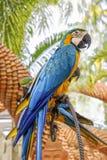 Κατάπληξη μπλε και κίτρινο Macaw (παπαγάλοι Arara) Στοκ Φωτογραφία