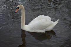 Κατάπληξη του κολυμπώντας λευκού Κύκνου με το στάλαγμα νερού στοκ εικόνες με δικαίωμα ελεύθερης χρήσης