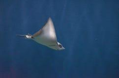 Κατάπληξη Stingray υποβρύχιο στη βαθιά μπλε θάλασσα Στοκ εικόνα με δικαίωμα ελεύθερης χρήσης