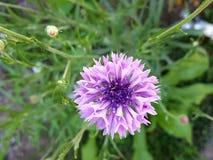 Κατάπληξη wildflower Στοκ Φωτογραφία