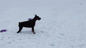 Κατάρτιση και παιχνίδι με τα σκυλιά Dobermans σε έναν χιονώδη τομέα απόθεμα βίντεο