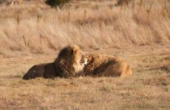 Κατάψυξη δύο λιονταριών αδελφών Στοκ εικόνα με δικαίωμα ελεύθερης χρήσης