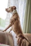 Κατάλληλο σκυλί Στοκ Φωτογραφία