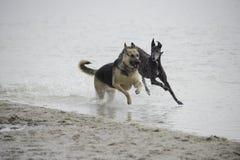 κατά μήκος της εστίασης σκυλιών σκυλιών παραλιών που αφήνεται δύο Στοκ Εικόνες