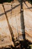 Κατά προσέγγιση κόψτε το κολόβωμα δέντρων Στοκ Εικόνες