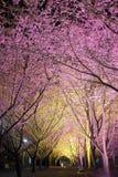 Κατά την άποψη ανθών κερασιών της Ταϊβάν Στοκ Εικόνες