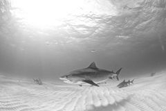 Κατάδυση καρχαριών Στοκ Φωτογραφία